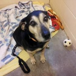 Irving is an adoptable Shepherd Dog in Mankato, MN. Meet Irving! He is a possible Shepherd mix who arrived at the shelter with his buddy Nell on the 3rd. He was found running with her outside and came...