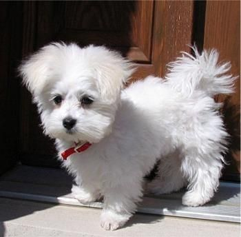 ;]: Maltese Puppies Dogs, Maltese Dogs, Favorite Pets, Animals Pets, Maltese Puppy, Baby Maltese, Heart Maltese, Cute Dogs