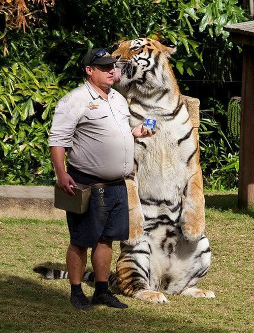 tiger standing next to man | Animals Are Fabulous ...