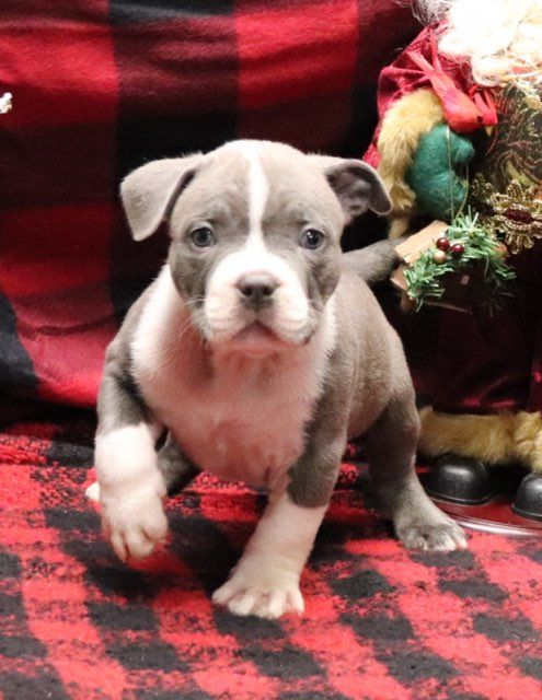 Breed Xl American Bully Gender Male Personality Good Natured Date Available Dec 27 2019 We Call Him Mellow Ye Puppy Adoption Puppies Puppy Finder