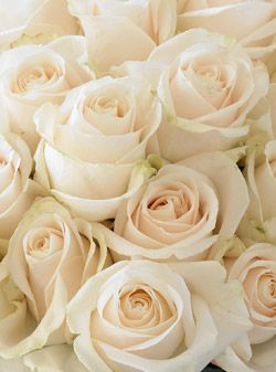 Beautiful wedding and flower on pinterest for Cream rose wallpaper