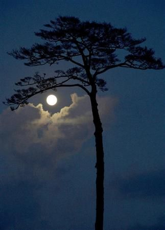 Blue moon over the pine tree in Rikuzen Takada, Japan: the only pine tree survived from Tsunami on 311.