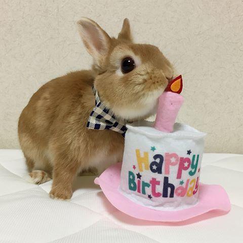 ろうそくフーするよ 今日はまるるんの誕生日 2歳になりました やること全てが可愛くて まるるんがいてくれるから いつも笑いが絶えないよ これからもずっとずっと元気でいてね うさぎ ネザーランドドワーフ ふわもこ部 Rabbit L かわいい ウサギ