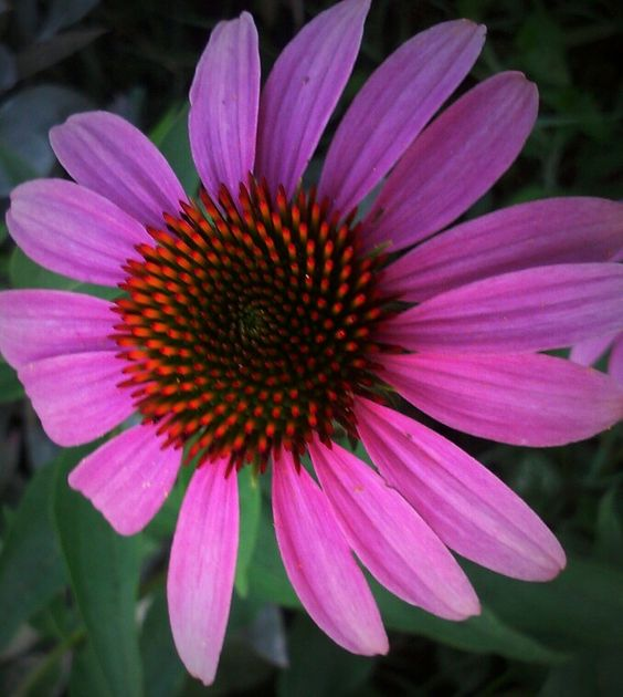 Purple coneflower glory