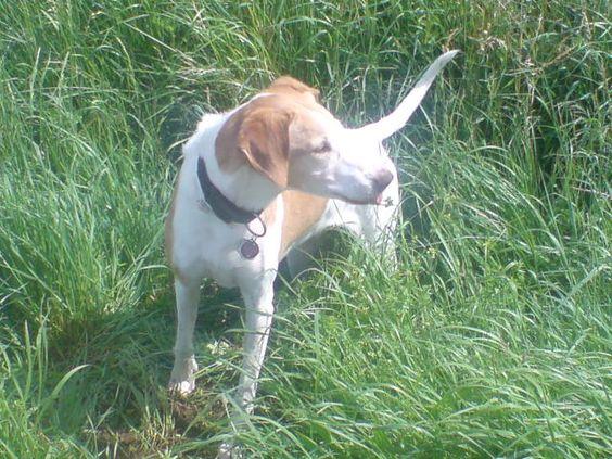 Lusi 2011, #braque #st.germain # pointer #puppy #pet #haustier #love #family #member #trauer #regenbogen #rainbow