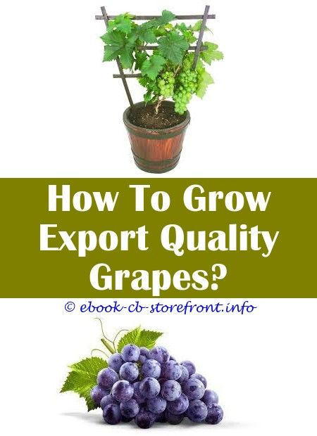 18 Superb How To Grow Concord Grapes From Seeds Grape Growing Trellis Grape Plant Grape Trellis