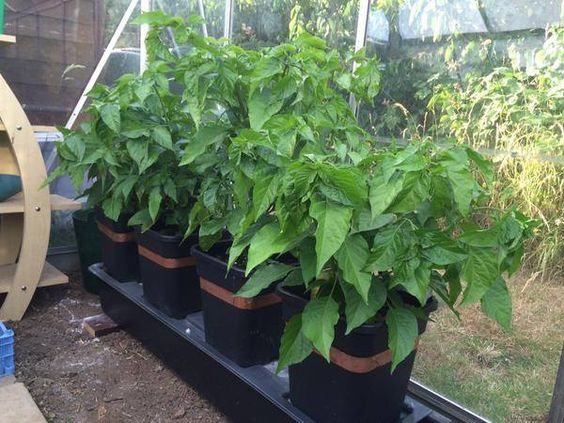 Thank you Chilli Dealer for sharing your fab chilli growing progress. Your Scotch Bonnets, Ghost Pepper and Bubblegum 7 Pots are growing like mad, enjoying a nice drink from the Quadgrows 30 Litre reservoir. http://www.greenhousesensation.co.uk/quadgrow.html