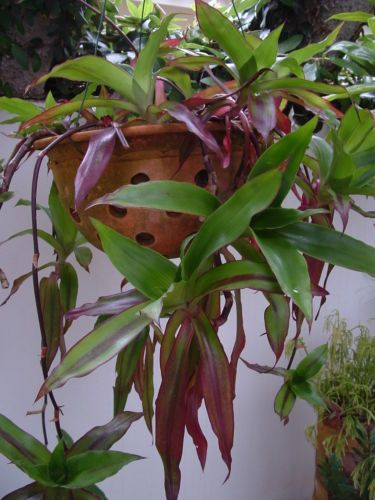 CALLISIA FRAGRANS - Fragrant hanging octopus plant X4 ... Octopus Plant