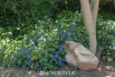 Dwarf Plumbago (Ceratostigma plumbaginoides). Zones 5 – 9. Part to full sun. Needs regular watering. Grows quickly to 1' tall and wide, spreads slowly by rhizomes. Blooms summer to early fall. Durable ground cover. Herbaceous perennial.