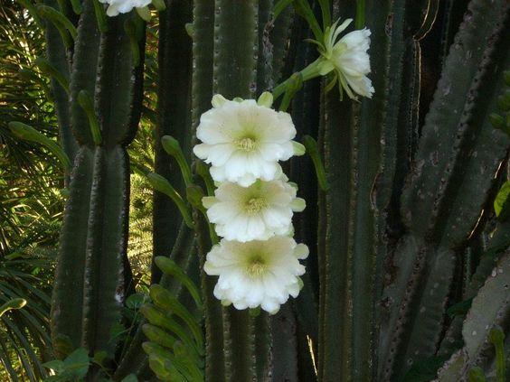 Kaktusblommor i Brasilien!