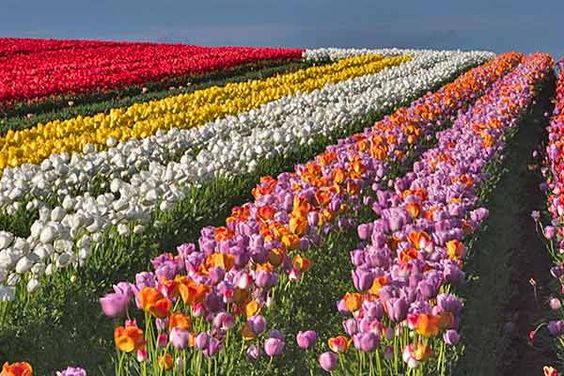 I'm obsessed with flower farms...