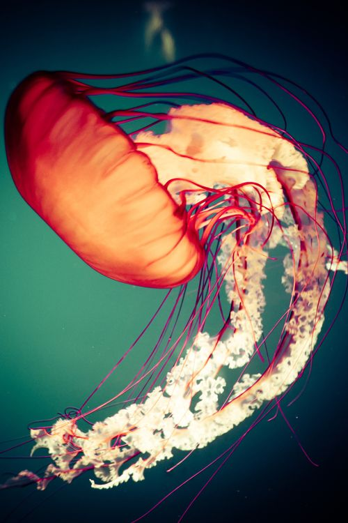 trans-ideal: Majestic Jellyfish | trans-ideal