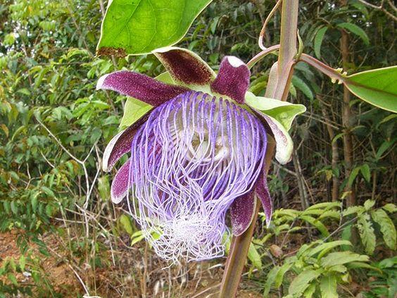 Passiflora Longifilamentosa Flor De La Pasion Plantas Nativas Flores Extranas