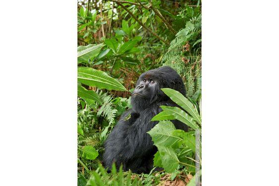 Charles,  le dos argenté dominant de la famille Umubano. Rwanda http://www.photo-thierry-riols.com