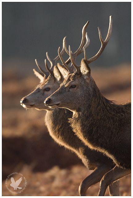 Seeing double--Red Deer