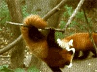 """This guy who's like, """"guys! guys!….guys??""""   The 27 Best Red Panda GIFs Of All Time"""