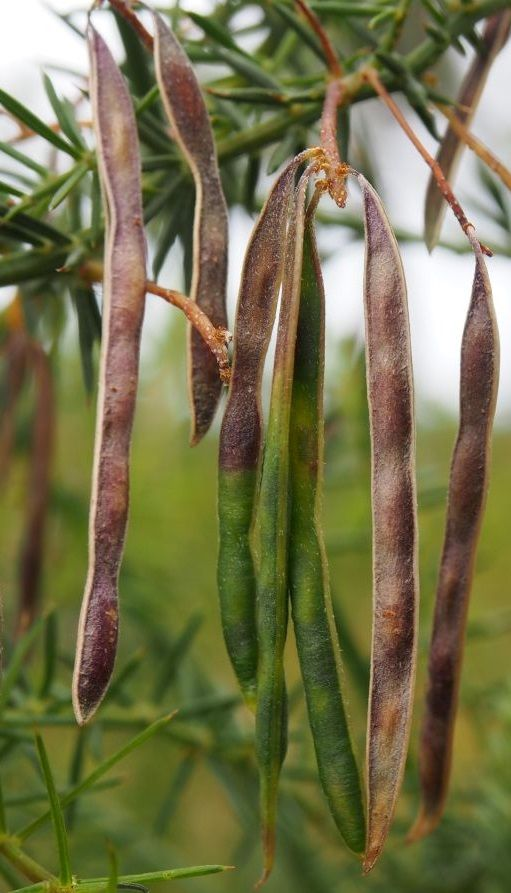 Ripening Pods Of Acacia Verticillata Known As Prickly Moses Seed Pods Vascular Plant Seed Bank