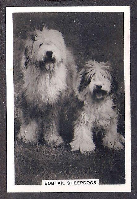 1939 UK Dog Photograph Senior Service Cigarette Card OLD ENGLISH SHEEPDOG Adult
