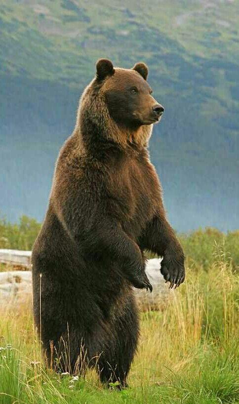 Standing Grizzly Bear Bear Photos Bear Totem Bear