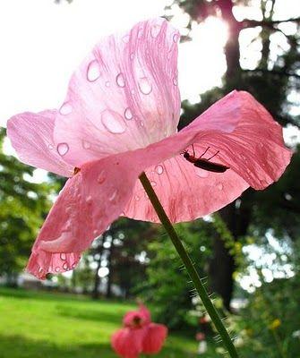 firefly poppy umbrella