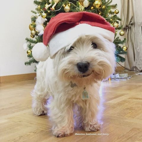 Westie Moments Westiemoments Instagram Photos And Videos