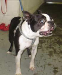 Mysterio is an adoptable Boston Terrier Dog in Georgetown, OH.  ... Brown County Animal Shelter, Georgetown, OH   •(937) 378-3457