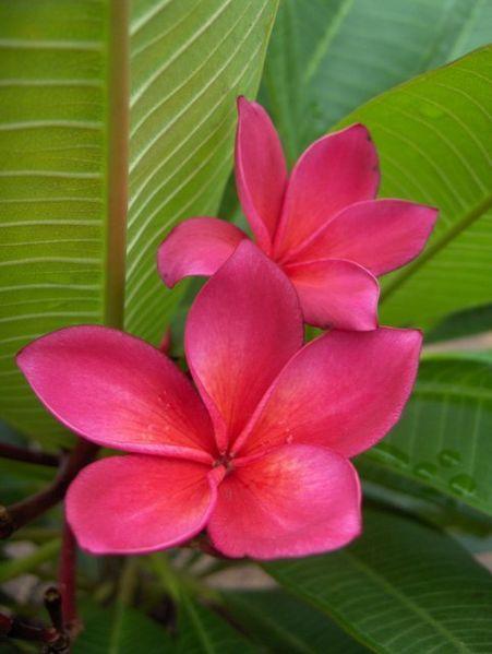 flowering trees of Hawaii | Frangipani Flower | Pink and Red Frangipani Flowers | Hawaiian Leis