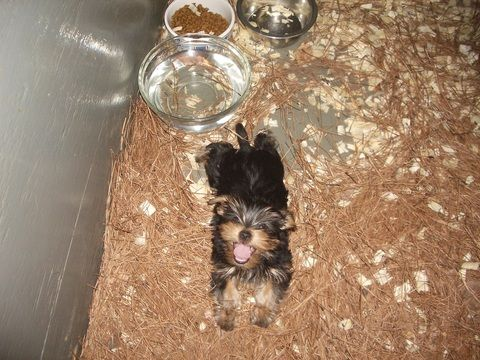Yorkshire Terrier Puppy For Sale In Carrollton Ga Adn 57055 On