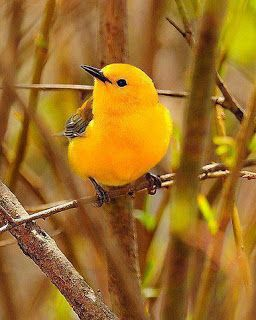 Prothonotary Warbler. Curruca.
