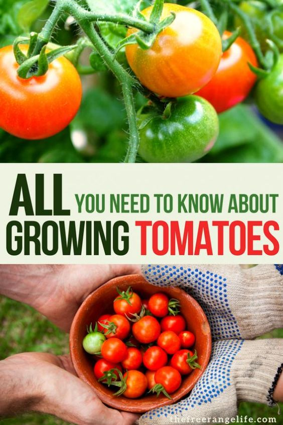 Vegetable Gardening Tips Learn Absolutely Everything You Need To Know About Growing Tomatoes In Your Backyard Garde In 2020 Growing Tomatoes Vegetables Gardening Tips