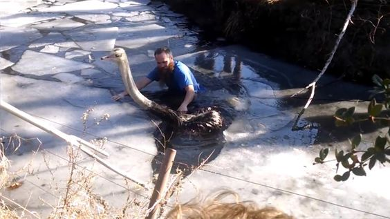 After an ostrich had fallen into a frozen pond, staff at the Pittsburgh Zoo helped guide the animal to safety.