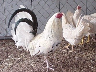 See everytime cock fighting in oklahoma every