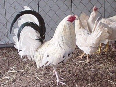 cock fowl oklahoma