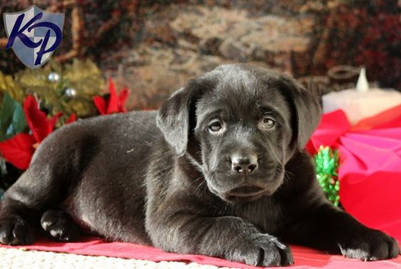 Casper – Labrador Retriever – Black Puppy www.keystonepuppies.com  #keystonepuppies  #blacklab