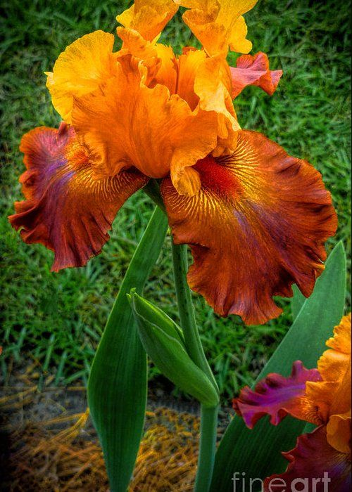 Bearded Lady Greeting Card For Sale By Dave Bosse In 2020 Iris Flowers Iris Garden Amazing Flowers