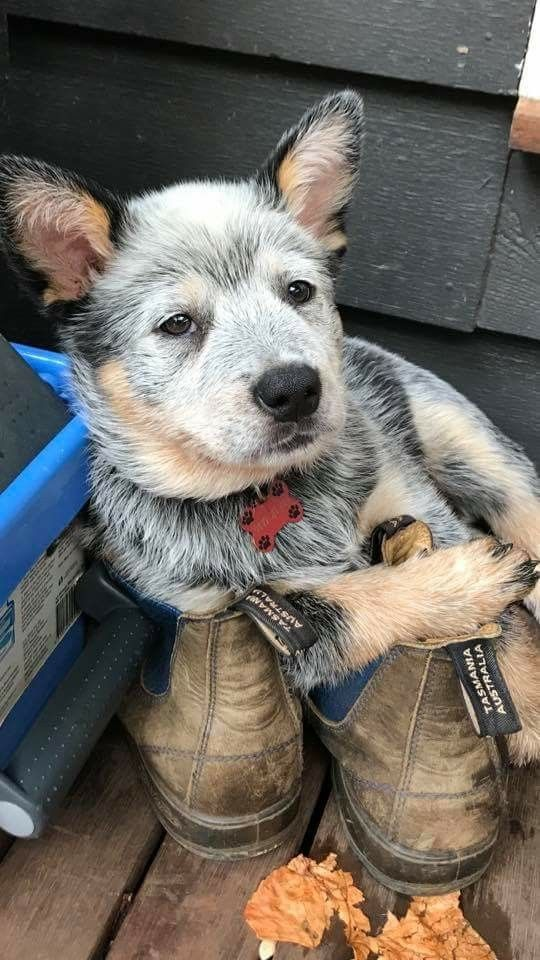 Pin On Heeler Puppy Cuteness Over Load