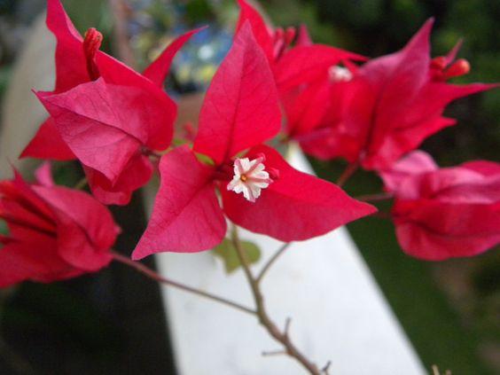 Trinitaria - Flor de papel - Bougainvillea glabra