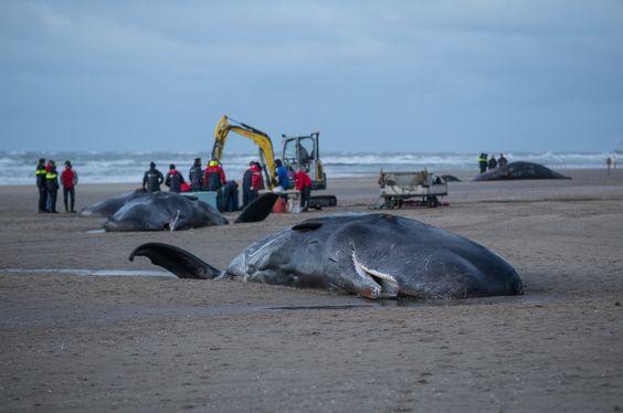 Ziel der Aktion war es auch, die Tiere vom Strand zu schaffen. Nicht nur, dass...