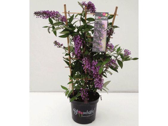 Kletternde Buddleia Schmetterlingswand®,1 Pflanze Sommerflieder Kletterpflanze Buddleja Hybride 1