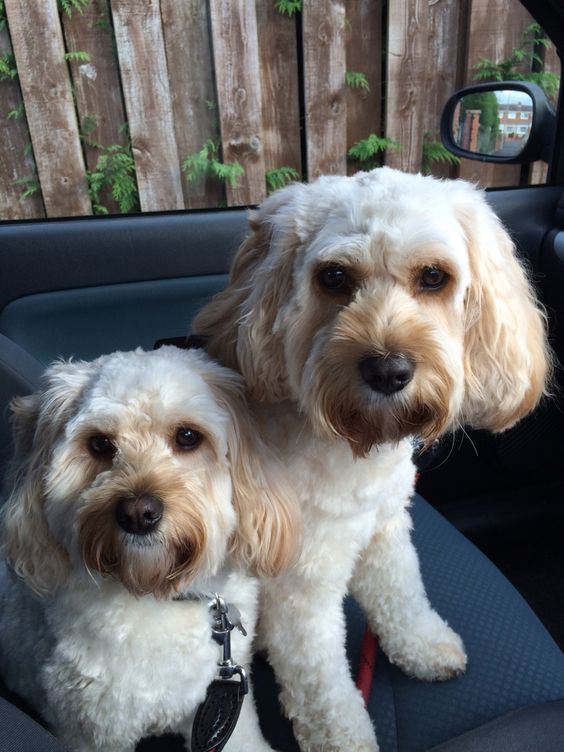 Wilma & Betty our cockapoo dogs x