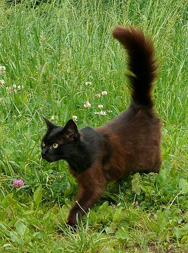 brown cat | StreamClan's Cats - StreamClan. Brown cat with a black ...