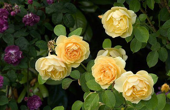 Rosa 'Graham Thomas' - Floral and botanical image library