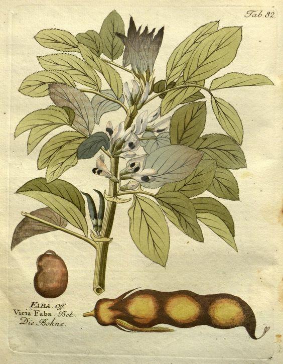 https://flic.kr/p/MaHs8S | n252_w1150 | Icones plantarum…