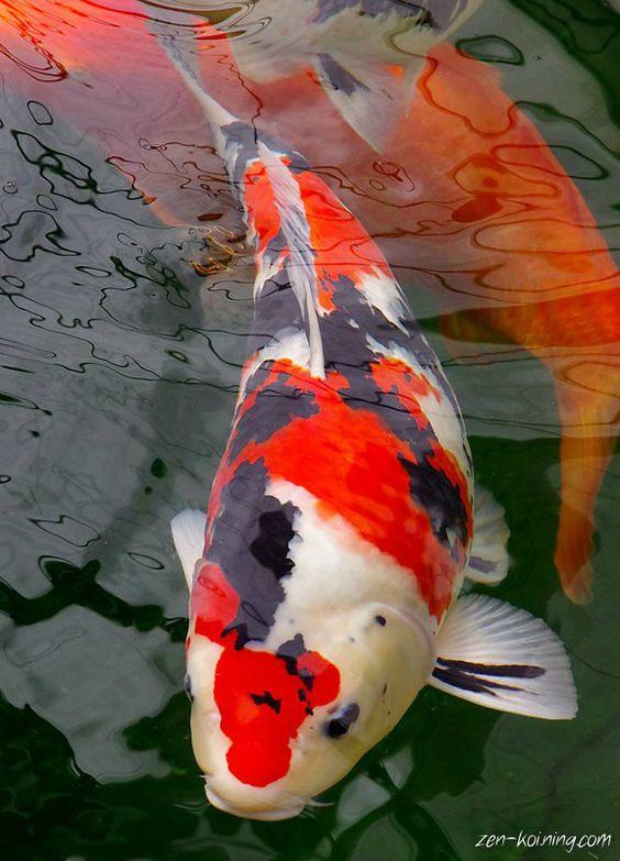 Pinterest the world s catalog of ideas for Sanke koi fish