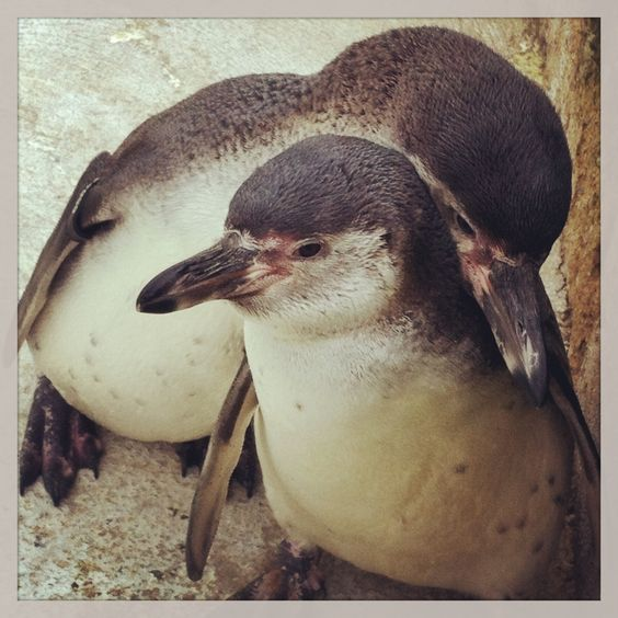 Humbolt Penguins cuddling at the Cotswold Wildlife Park