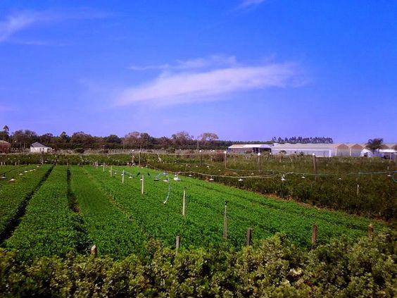 Campos com plantação de flores em Holambra.