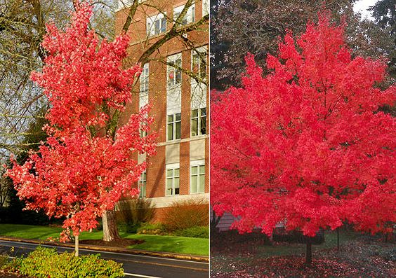 October Glory Maple- and yes, it is glorious!