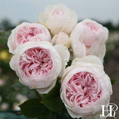 Earth Angel Planting Roses Heirloom Roses Floribunda Roses