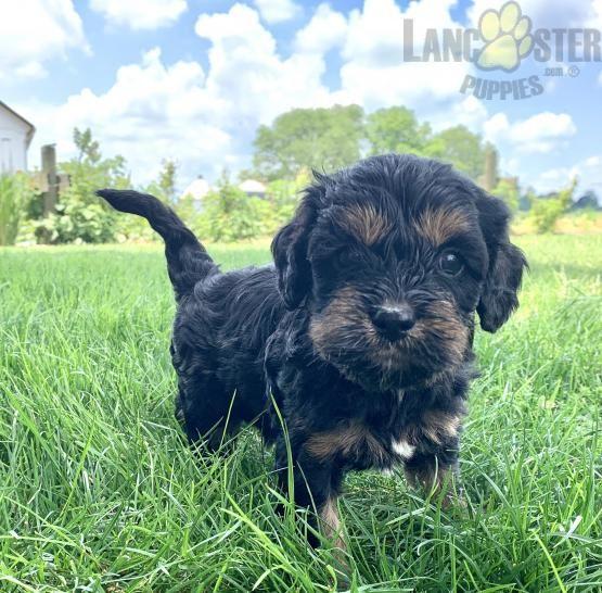 Cooper Cavapoo Puppy For Sale In Strasburg Pa In 2020 Cavapoo