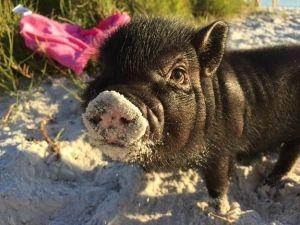 This piglet exploring